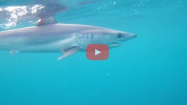 Catching Mako Shark on the Fly