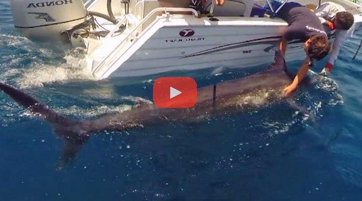600 lb Marlin Engulfs Bonito