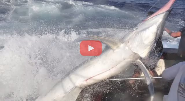 600lb Black Marlin Jumps Into Boat and Lands on the Crew