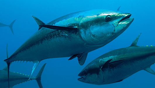 How Well do you know Fish - Tuna