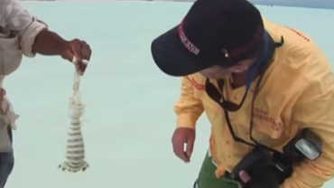 Catching Giant Mantis Shrimp Barehanded at Christmas Island
