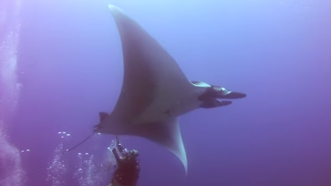 Divers Rescue Giant Manta From Fishing Lines