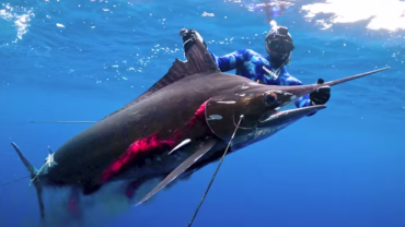 New Spearfishing World Record for Striped Marlin