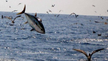 Tuna Feeding Frenzy in Panama