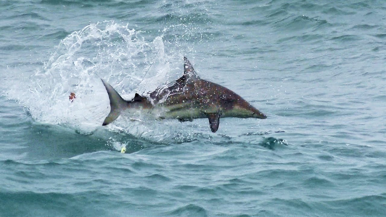 Shark Attack:  Massive Numbers of Blacktips Attacking Topwater Lures – [Video]