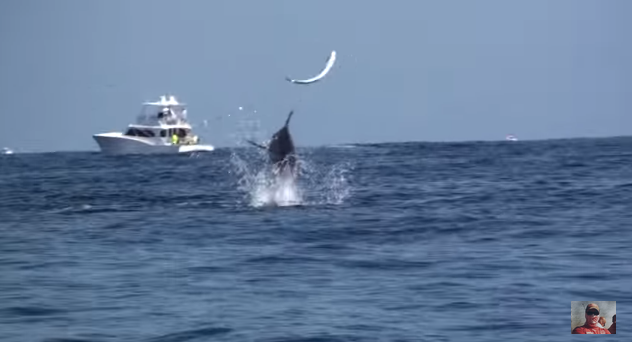 Blue Marlin Smashes and Toys With This Dolphin Fish