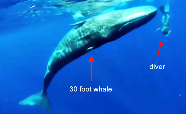 Whale Whisperer Dances Underwater With 30 Foot Sperm Whale